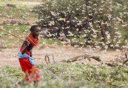Небывалое нашествие саранчи в 60 странах: возможен голод «библейских масштабов»