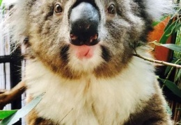 Коала выжила после 16-километровой поездки на оси внедорожника