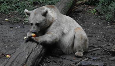 По Куремяэ бродит не впавший в спячку медведь