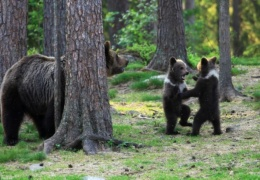 Финские медвежата встали в круг
