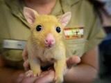 В Австралии поймали живого Пикачу