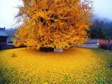 1400-летнее дерево гинкго превратило дворик буддийского храма в желтый океан