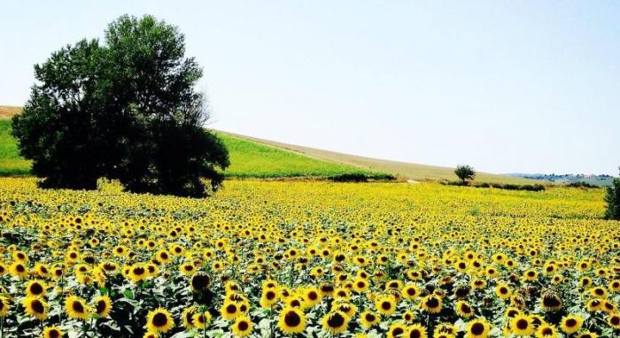 Самое большое поле подсолнухов