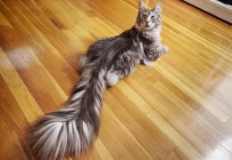 Домашний кот с самым длинным в мире хвостом