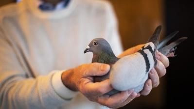 В Бельгии продали гоночного голубя за $1,9 миллиона