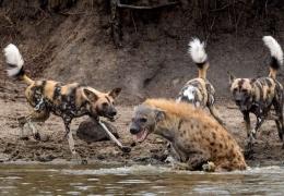 Гиена прыгнула в реку, чтобы убежать от стаи диких собак