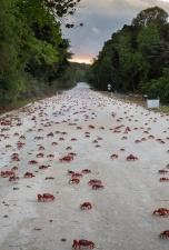 Миграция 120 миллионов крабов на острове Рождества