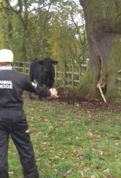 Cпасатели провозились полтора часа, чтобы выковырять быка из дерева