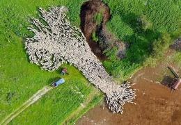 Завораживающий таймлапс: стадо овец напоминает живую картину