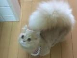 Коту с таким хвостом позавидует любая белка