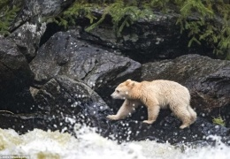 Встреча с редчайшим медведем, которых осталось на Земле не более 500 особей
