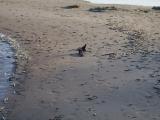 Из-за жары в Чудском озере массово гибнет рыба