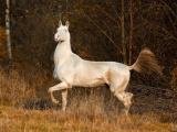 Ахалтекинец: Способности «совершенной» породы лошадей. Почему она претендует на идеал?