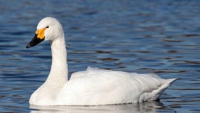 Спасатели в Нарве вернули в природу сердитого лебедя