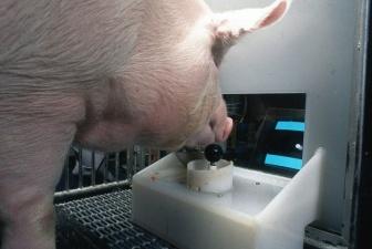 Ученые из США научили свиней играть в видеоигры