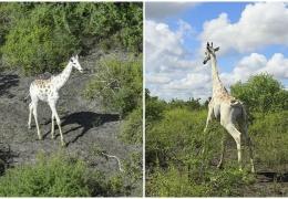 Единственного в мире белого жирафа снабдили GPS-датчиком