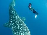 Невероятные кадры: фридайвер плавает с огромными китами