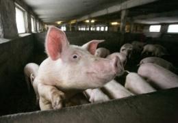 Выживут крупнейшие: небольшим свинофермам стоит подумать о прекращении деятельности - министр