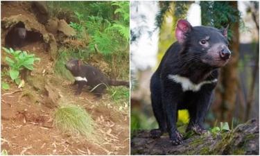 Впервые за 3000 лет в Австралии появились тасманийские дьяволы
