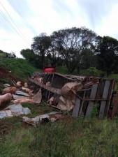 Как разжиться мясом на халяву: грузовик со 120 свиньями перевернулся в Бразилии
