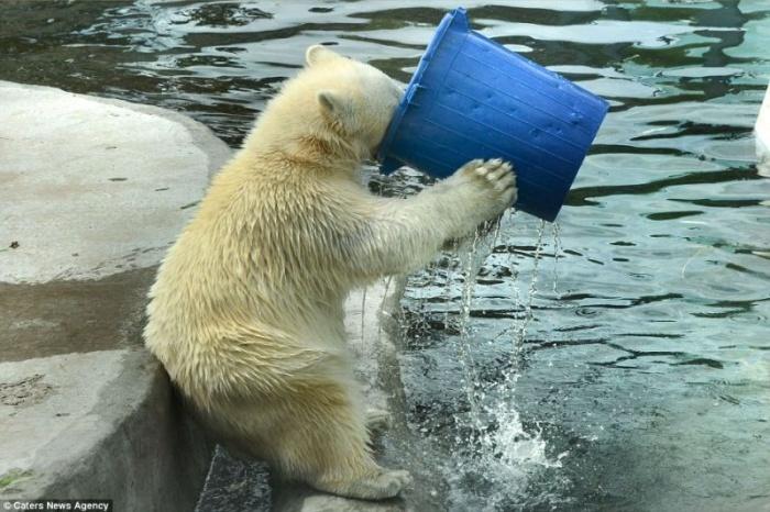 Белый медведь играет с ведром в московском зоопарке