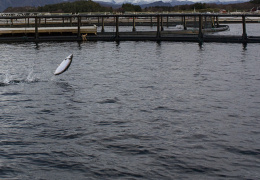 Остывшая из-за снижения выработки электричества вода в Нарве вынудила закрыть рыбную ферму