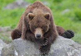 Суд оштрафовал медведя за кражу меда