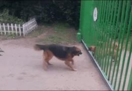 Собаки-забияки