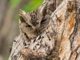 Идеальная маскировка совы под дерево