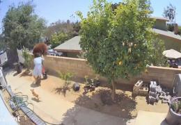 В Калифорнии медведь попытался забраться на территорию дома. Женщина столкнула его с забора, защищая своих собак