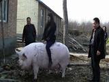Китайский фермер вырастил свинью размером с медведя