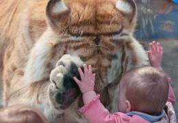 Дети и тигры (3 фото)