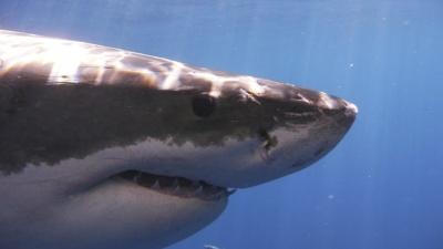 Два человека погибли в Австралии от нападения акулы за последнюю неделю