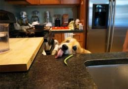 Собака тщетно пытается достать стручок спаржевой фасоли со стола