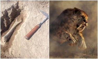 Ученые нашли останки одной из самых больших саблезубых кошек