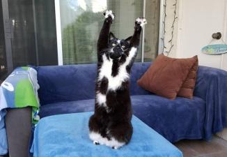 Кот поднимает вверх лапы каждый раз, когда его фотографируют