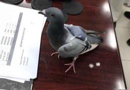 Таможенники задержали голубя с набитым наркотиками рюкзаком