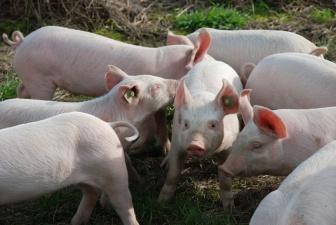 The Guardian: свиная чума сократила количество эстонских ферм в семь раз