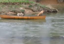 Двое собак в лодке просят о помощи