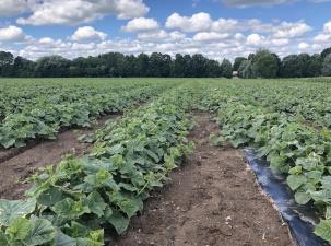 Фермеры готовы вырастить 1200 тонн огурцов по заказу Põltsamaa, но боятся за сбор урожая