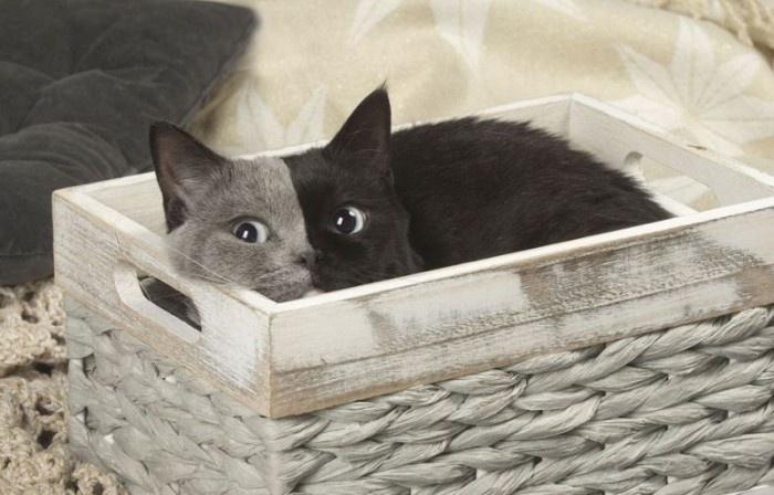 Редкая двуликая кошка по кличке Нарния
