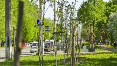 Вдоль улиц Нарвы высадили 131 дерево