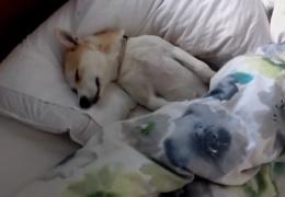 Когда собака узнала, что на следующее утро ее должны отвезти к ветеренару