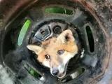 Незадачливый лис поплатился за своё любопытство и застрял в колесе
