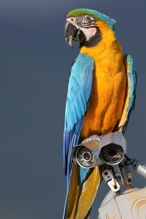 Удивительные венесуэльские «голуби»