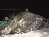 На Урале охотник завалил гигантского кабана весом в полтонны