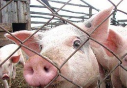 Свиная чума добралась до Йыгевамаа