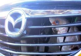 Попугай застрял за радиаторной решеткой после столкновения с машиной