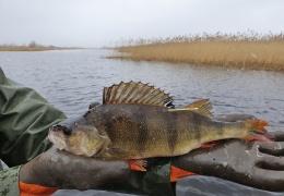 Ловля окуня в Чудском, Теплом и Псковском озерах приостановлена до конца года