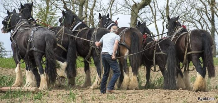 Крупные лошади-тяжеловозы заменяют фермеру трактор